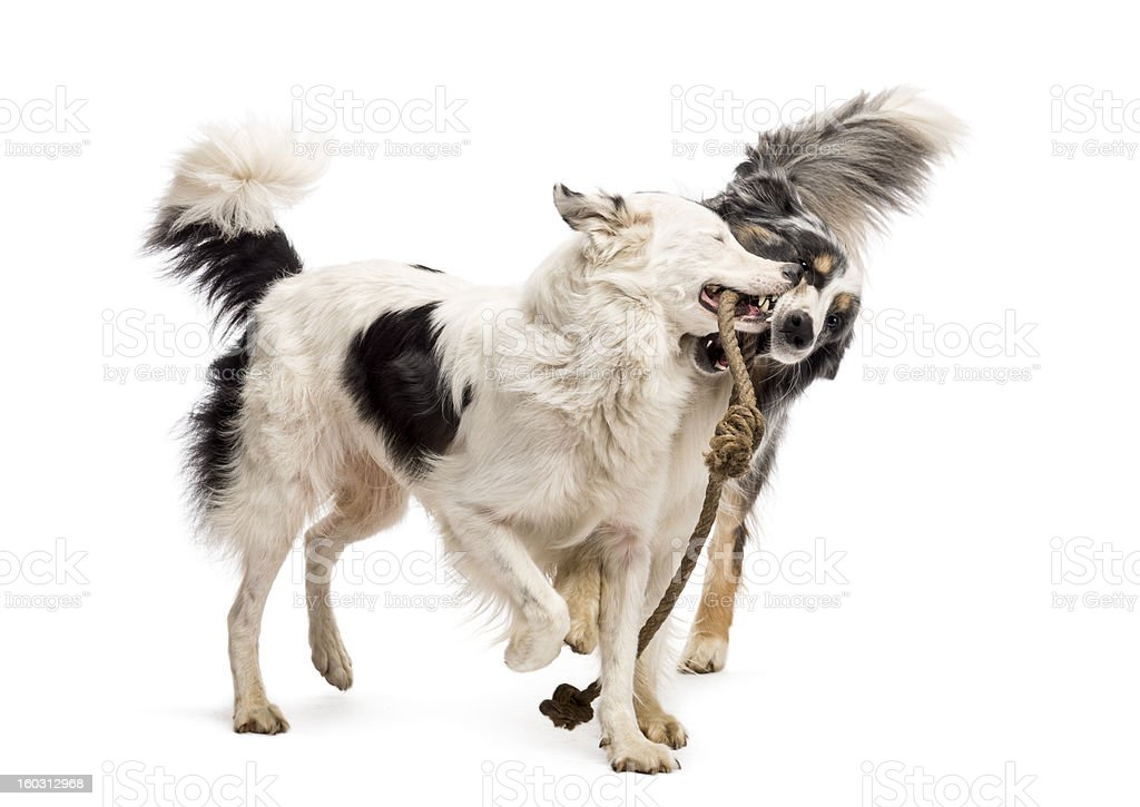 Border Collie and Australian Shepherd playing with a rope royalty-free stock photo