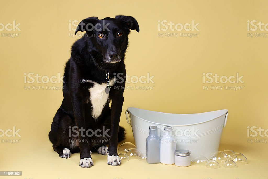 border collie beside a bath tub with luxury soaps royalty-free stock photo