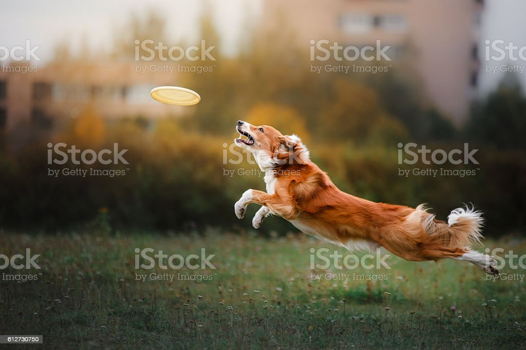 Border Collie catches a flying disc stock photo