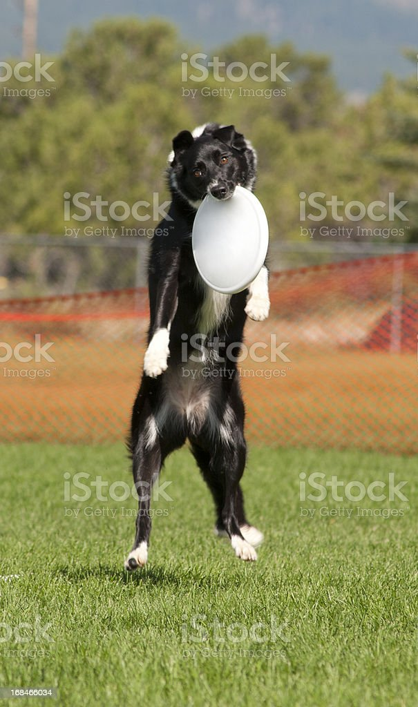 Border Collie Catches Frisbee royalty-free stock photo
