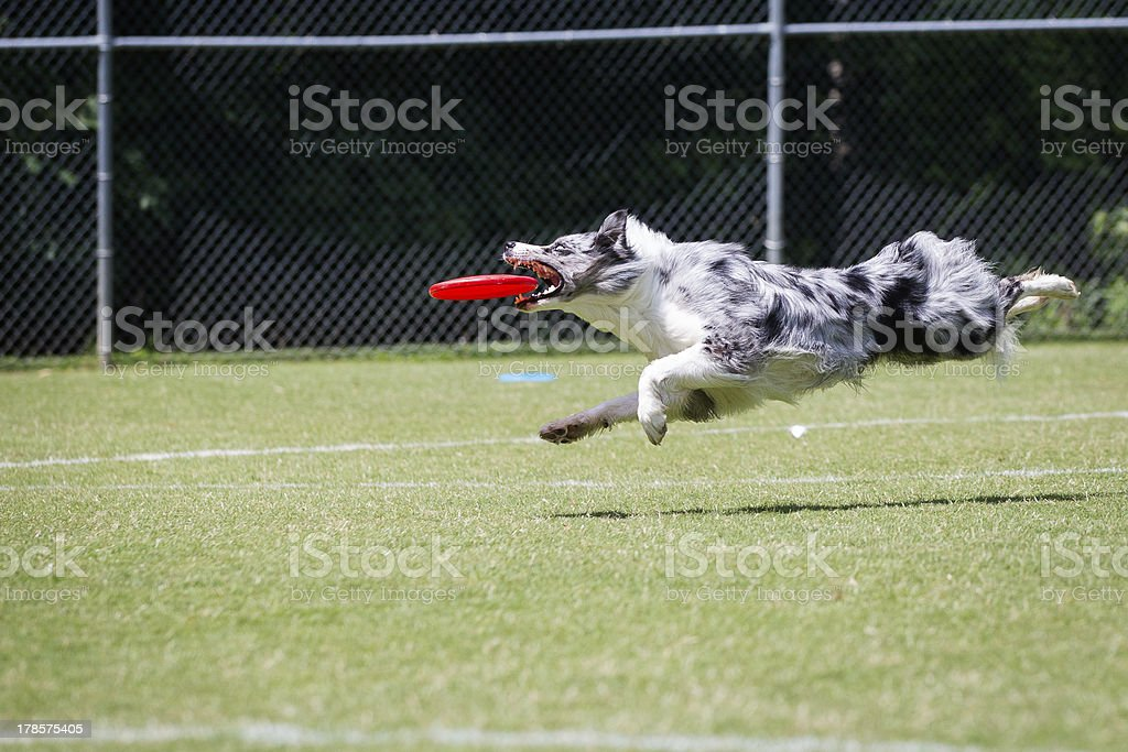 Border Collie catching a frisbee disc royalty-free stock photo
