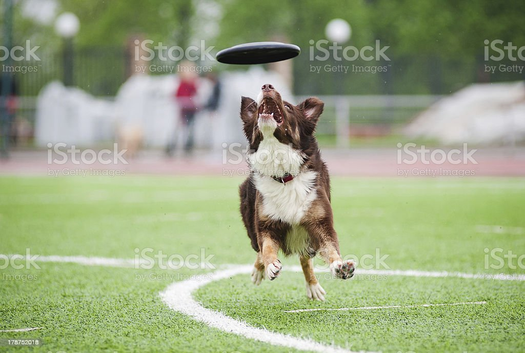 border collie  catching disc royalty-free stock photo