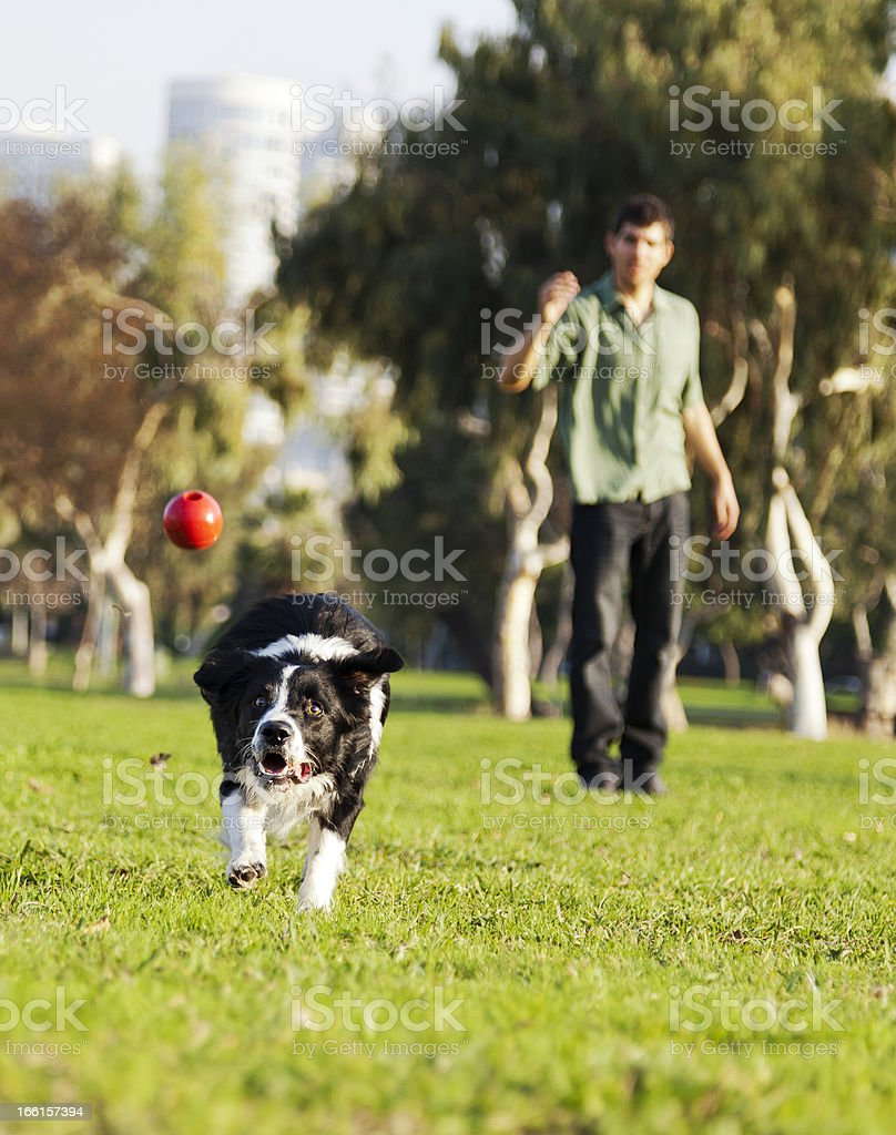 Border Collie Catching Dog Ball Toy at Park royalty-free stock photo