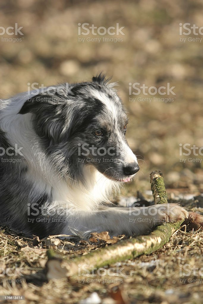 Border collie chewing a stick royalty-free stock photo