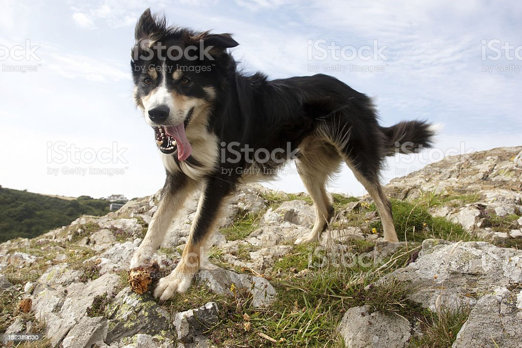 Border collie close up sky background stock photo