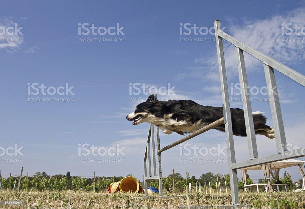 Border Collie Dog Agility stock photo