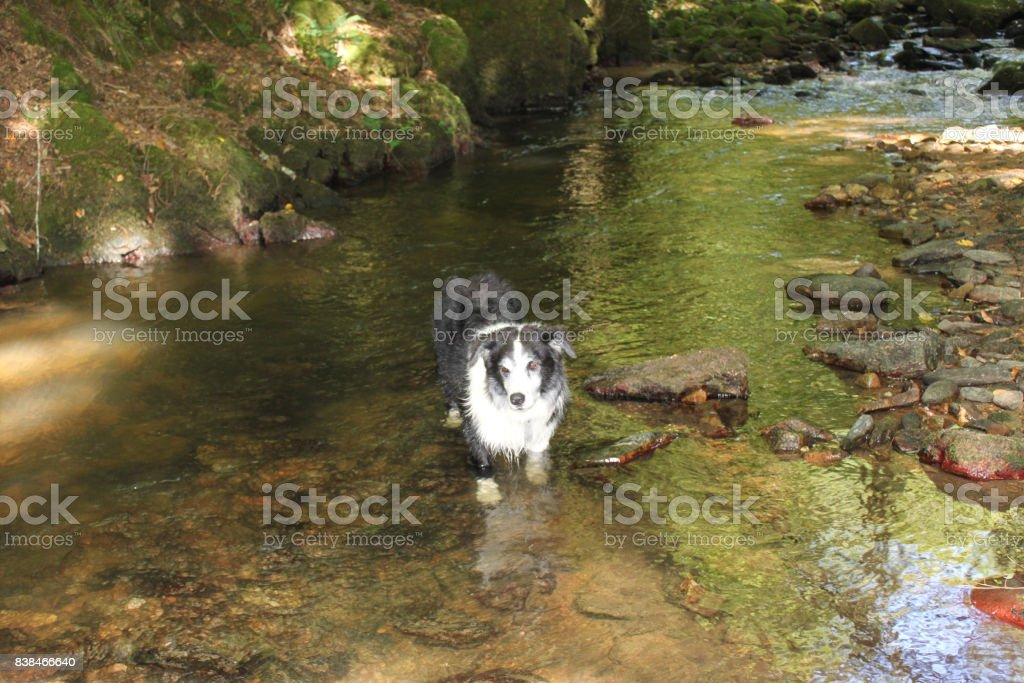 border collie dog in woodland river stock photo