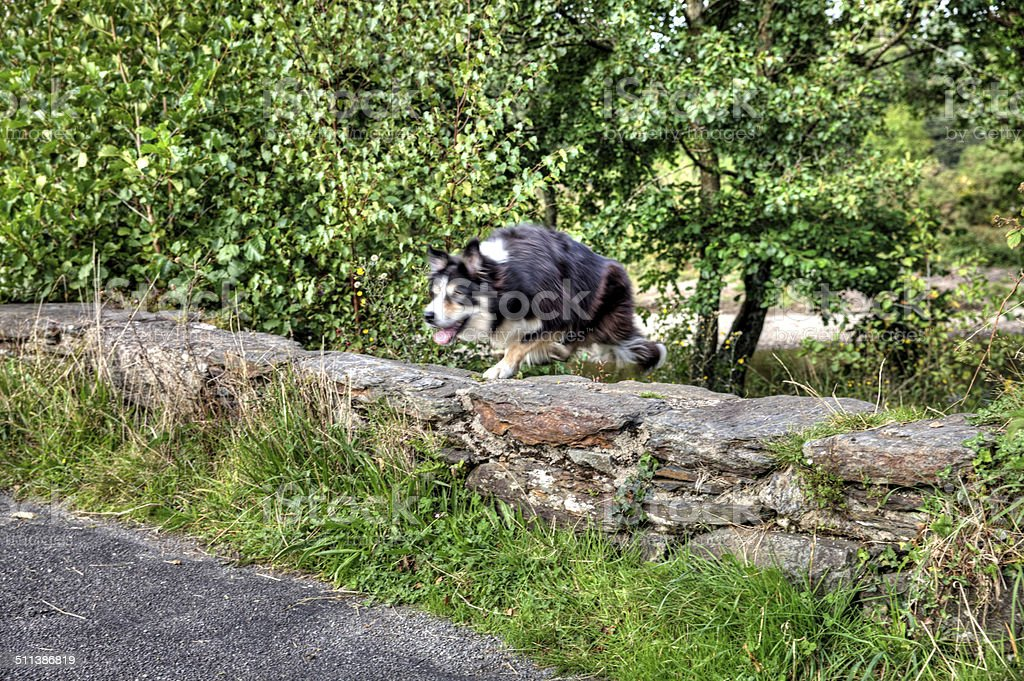 Border collie dog jumping over stone wall stock photo