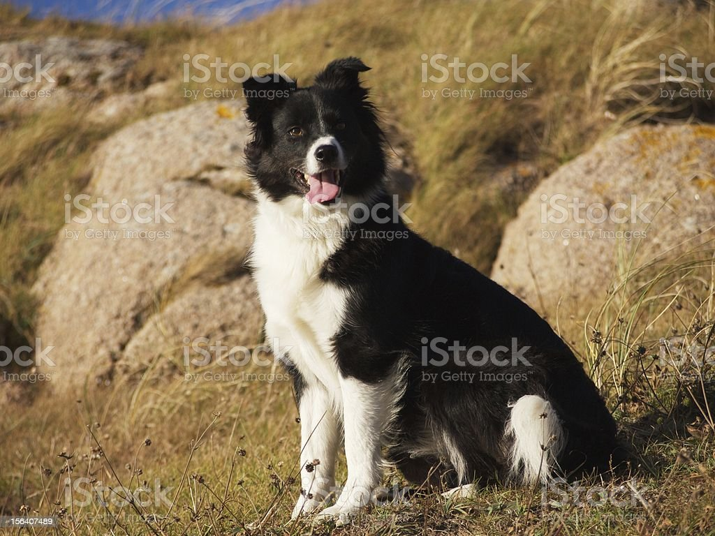 border collie dog ready for a command royalty-free stock photo