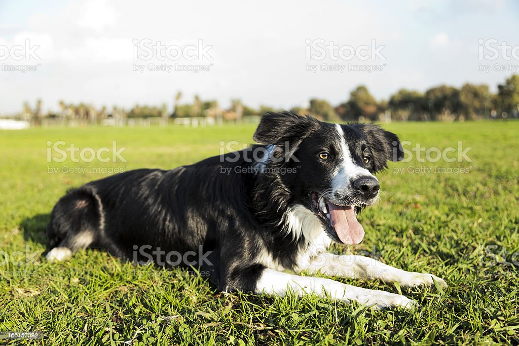 Border Collie Dog Resting on Park Grass royalty-free stock photo