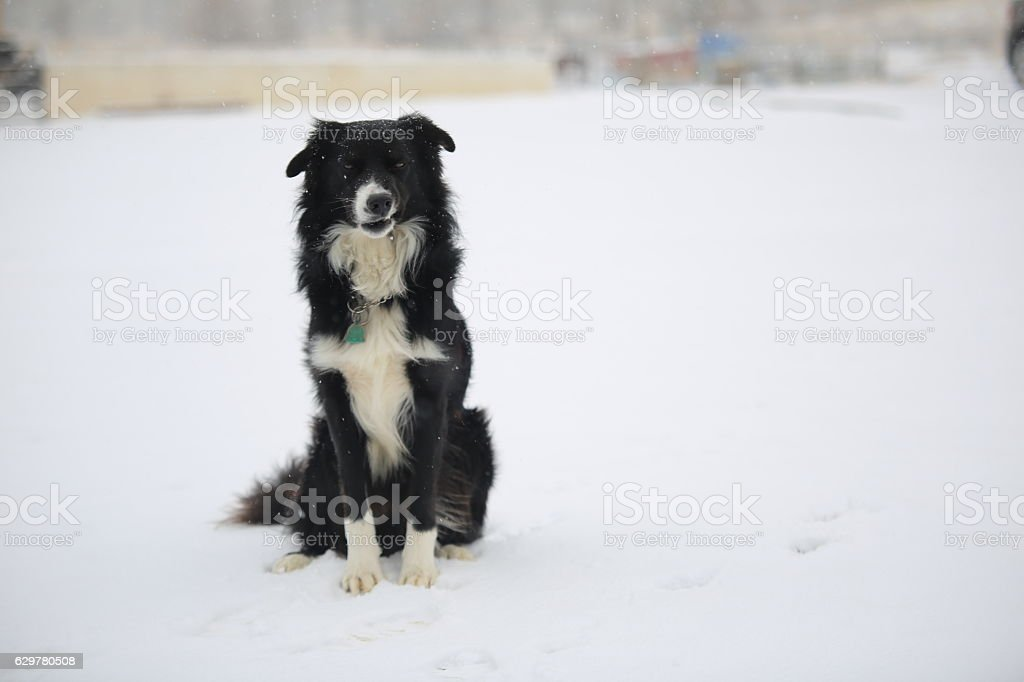 Border Collie Dog Smirking and Sitting in the Snow stock photo