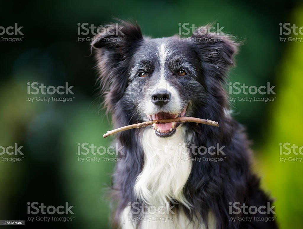 Border collie dog with stick in mouth stock photo