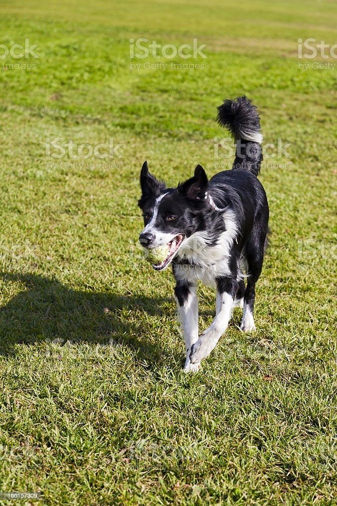 Border Collie Dog with Tennis Ball at Park royalty-free stock photo