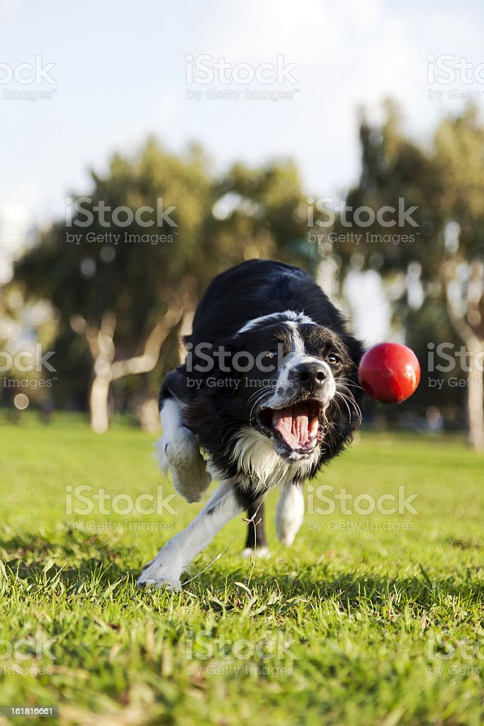 Border Collie Fetching Dog Ball Toy at Park royalty-free stock photo
