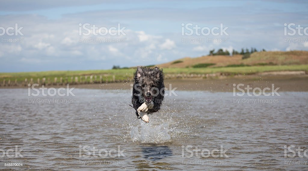 Border collie flying in the water stock photo