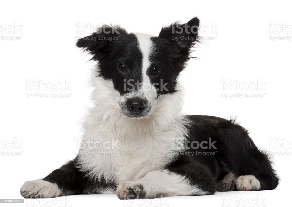 Border Collie, four months old, lying, white background. royalty-free stock photo
