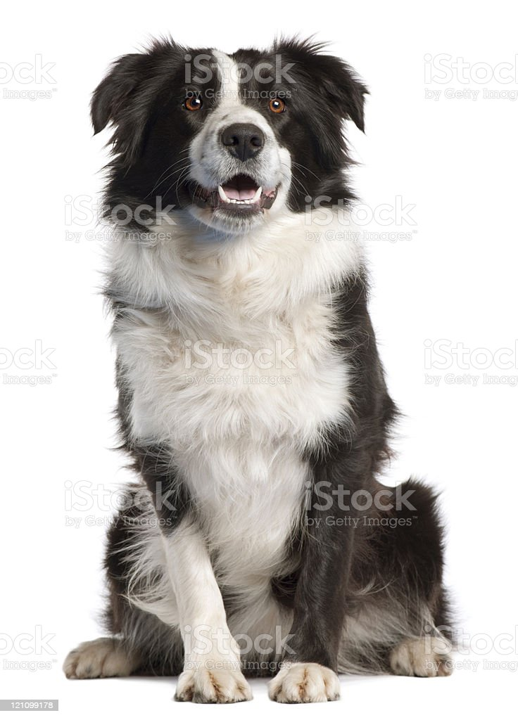 Border Collie, fourteen months old, sitting, white background. stock photo