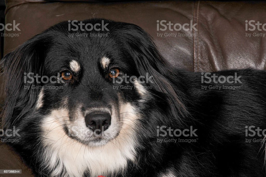 Border Collie Girl stock photo