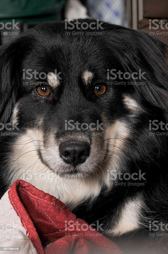 Border Collie Girl stock photo