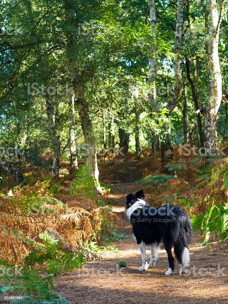 Border collie in a woods stock photo