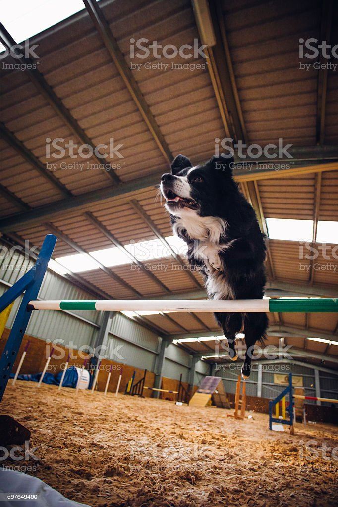 Border Collie in Agility Test stock photo