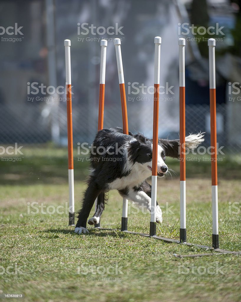 Border collie in agility weave poles royalty-free stock photo