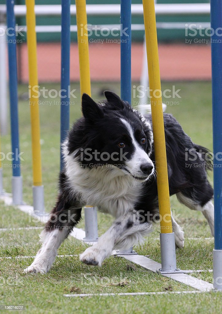 Border Collie in competition. stock photo
