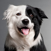 Border Collie in front of grey background