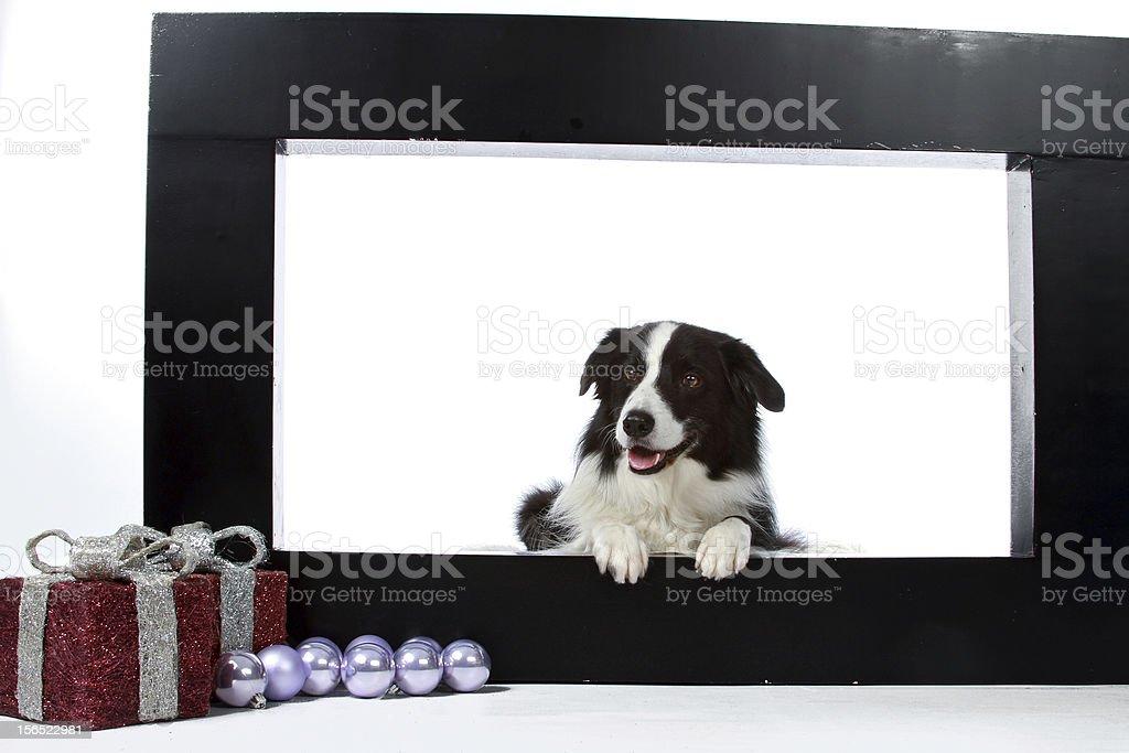 border collie in photoborder royalty-free stock photo