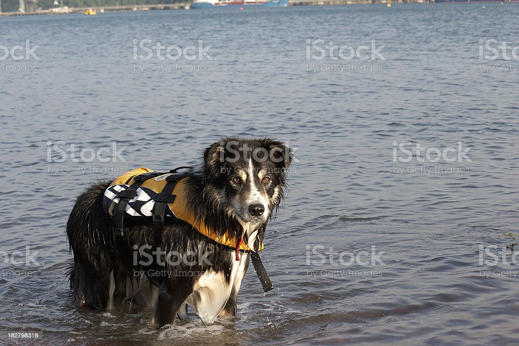 Border collie in the sea wearing life-jacket royalty-free stock photo