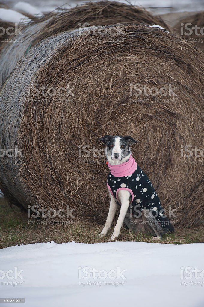 Border Collie in winter time stock photo