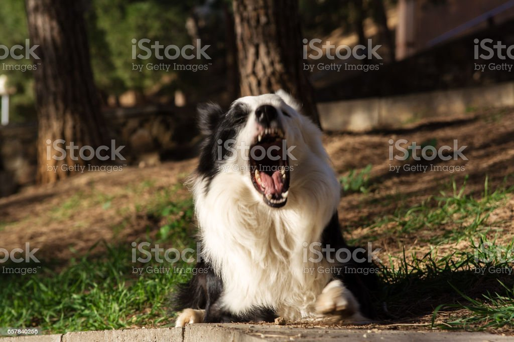 border collie lies on stone wall in the park stock photo