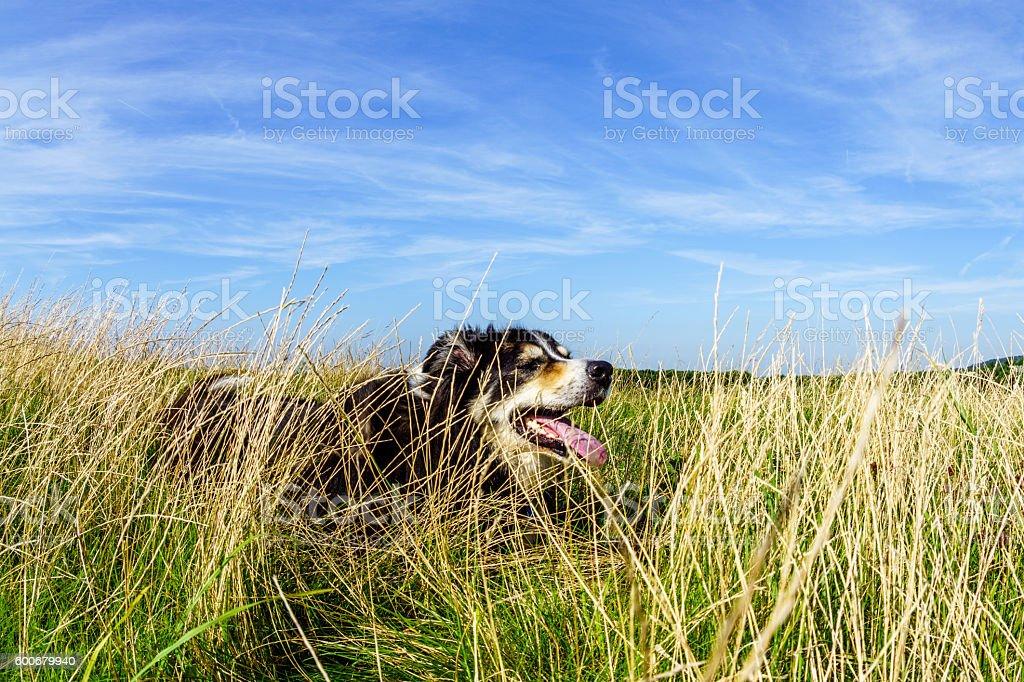 Border collie lying down on grassy headland stock photo