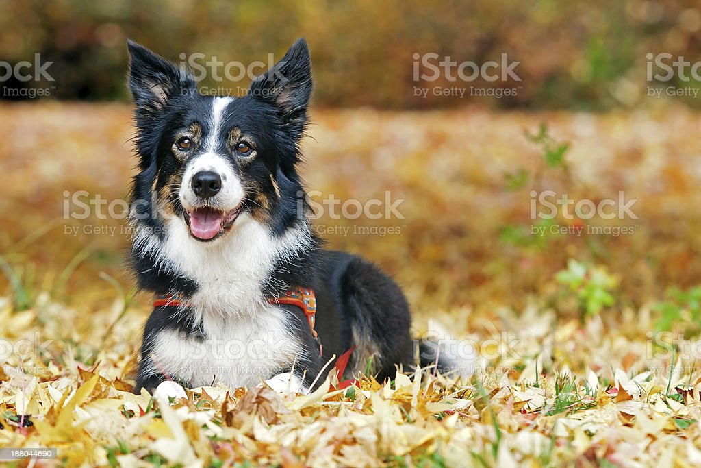 Border Collie Lying in Autumn Leaves stock photo