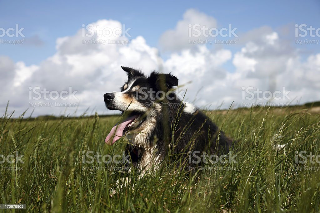 Border collie lying on grass royalty-free stock photo