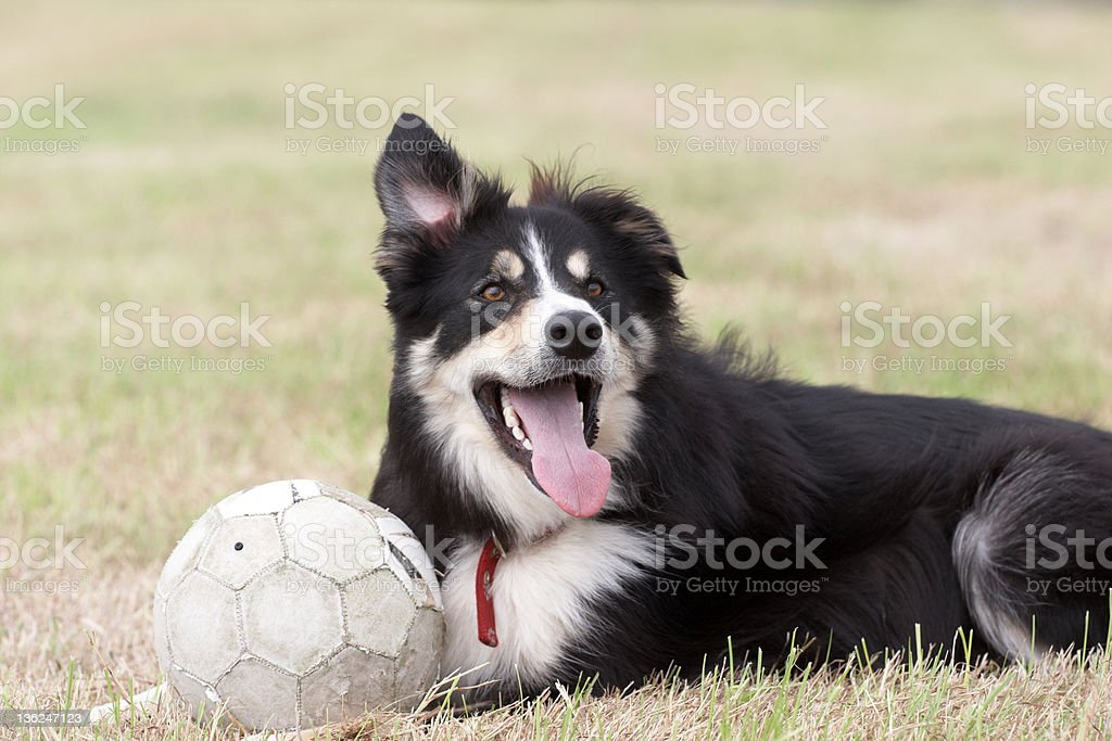 Border collie lying on grass with ball stock photo