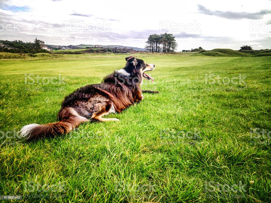 Border collie lying on grass with stick stock photo