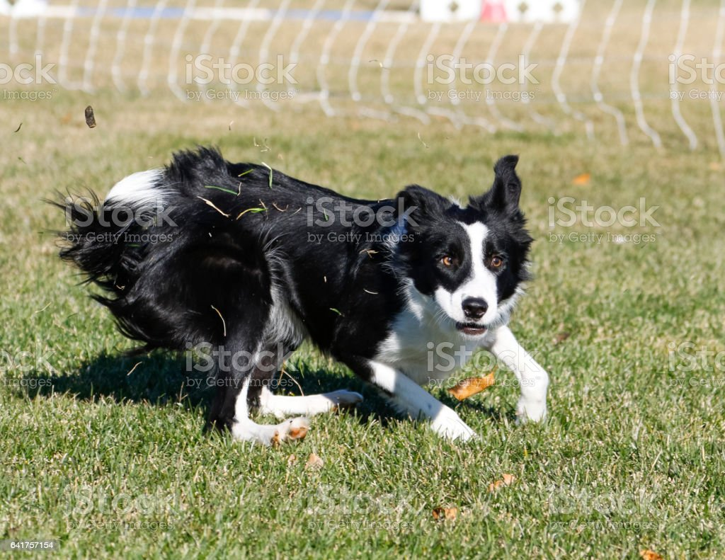 Border collie making a face stock photo