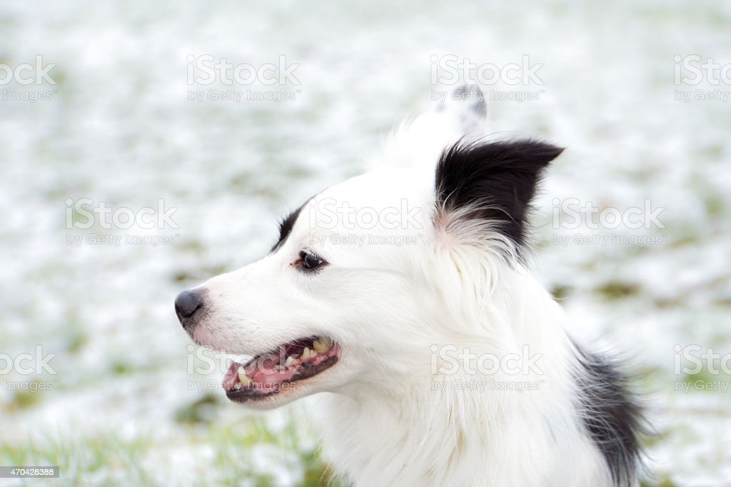 border collie mix stock photo