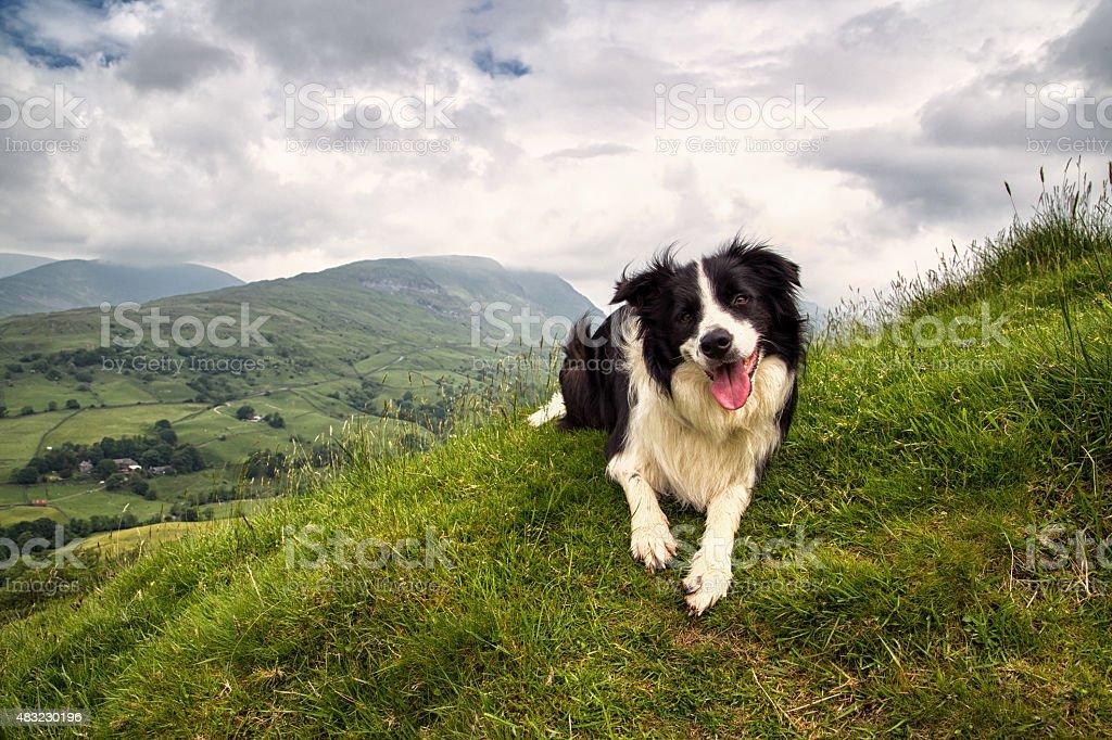 Border Collie on a Mountain stock photo