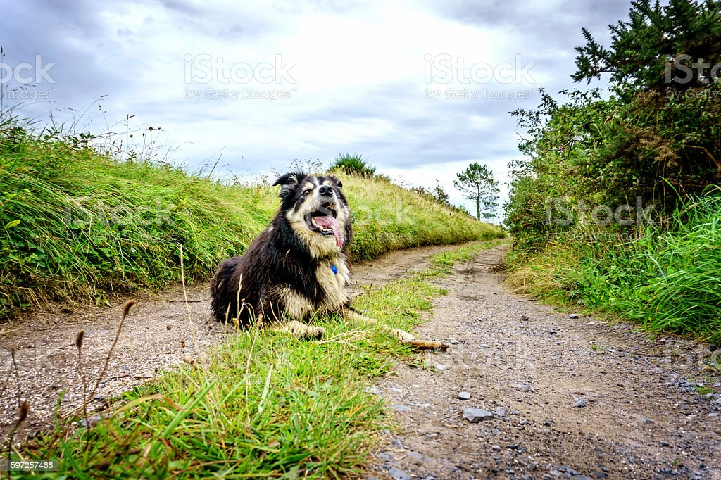 Border collie on grassy track in Welsh countryside stock photo