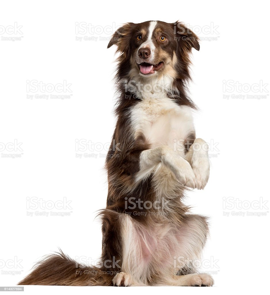 Border Collie on his hind legs isolated on white stock photo