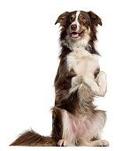 Border Collie on his hind legs isolated on white