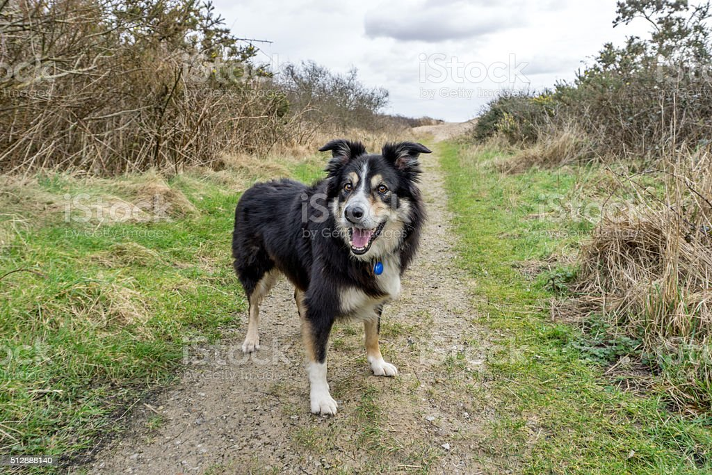 Border collie on standing on countryside footpath stock photo