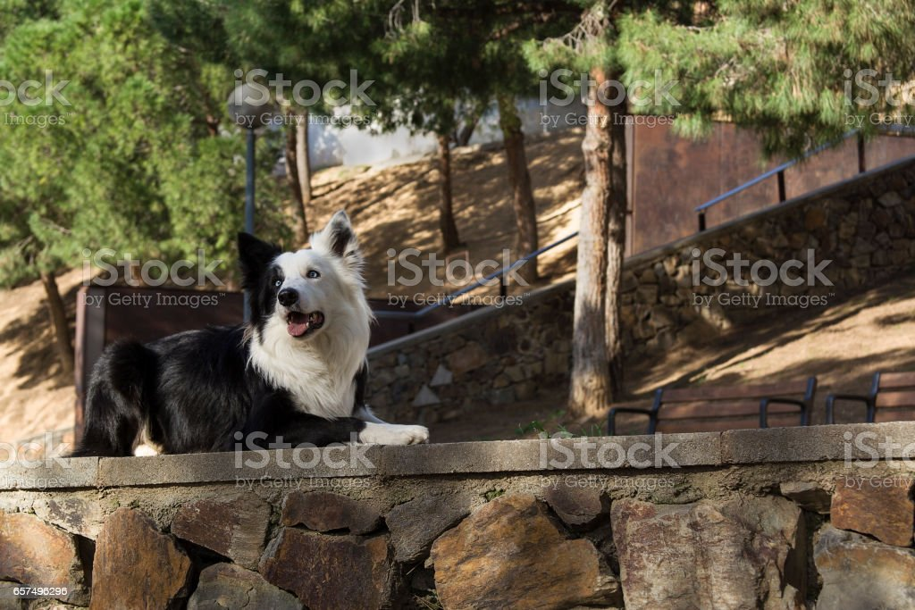 border collie on the stone wall in the park stock photo