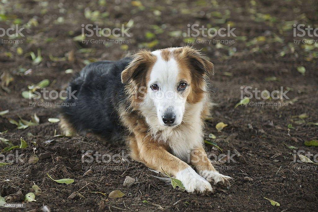 Border collie or sheep dog stock photo