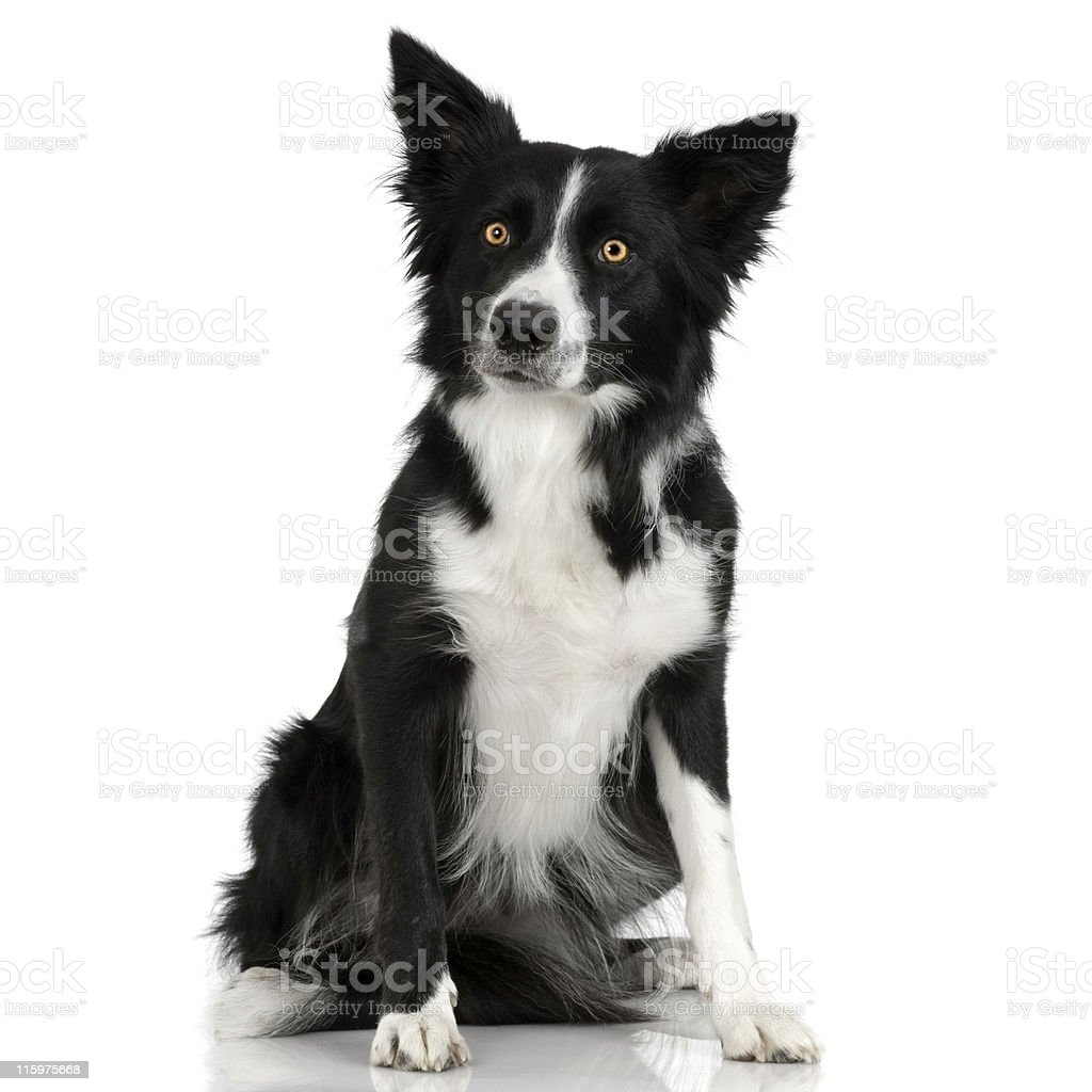 Border Collie (1 years) royalty-free stock photo