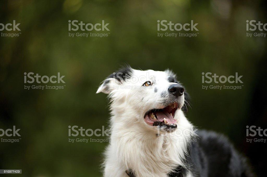 border collie portrait stock photo