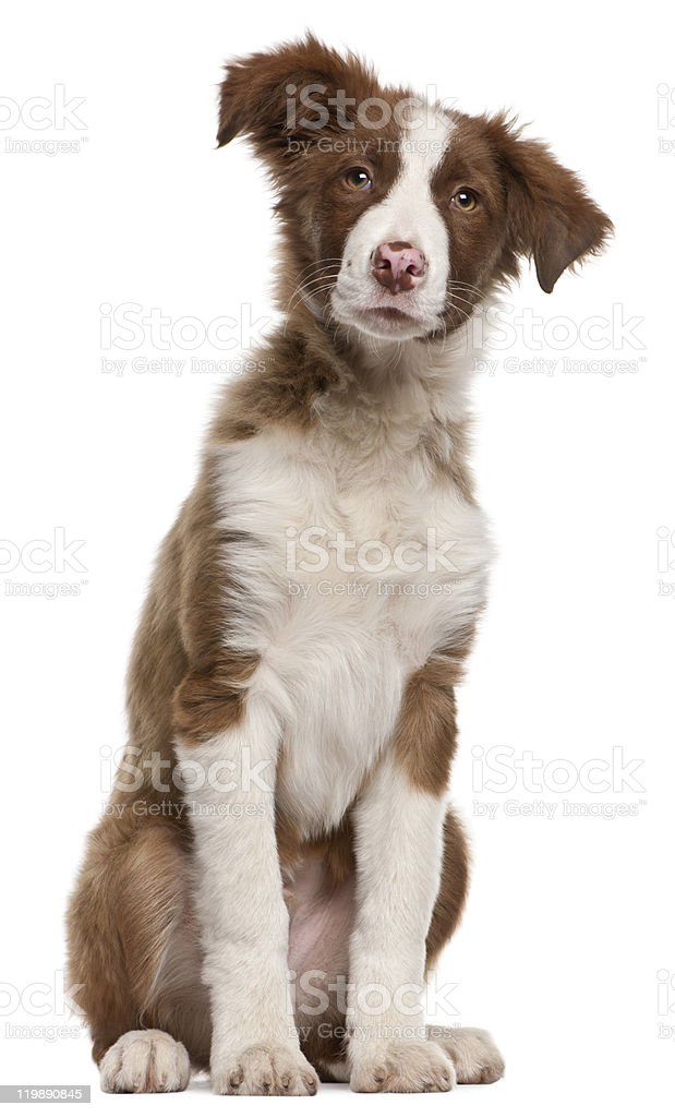 Border Collie puppy, 5 months old, sitting, white background. royalty-free stock photo