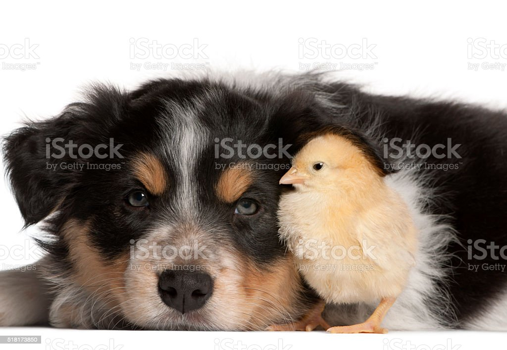 Border Collie puppy, 6 weeks old, playing with chick stock photo